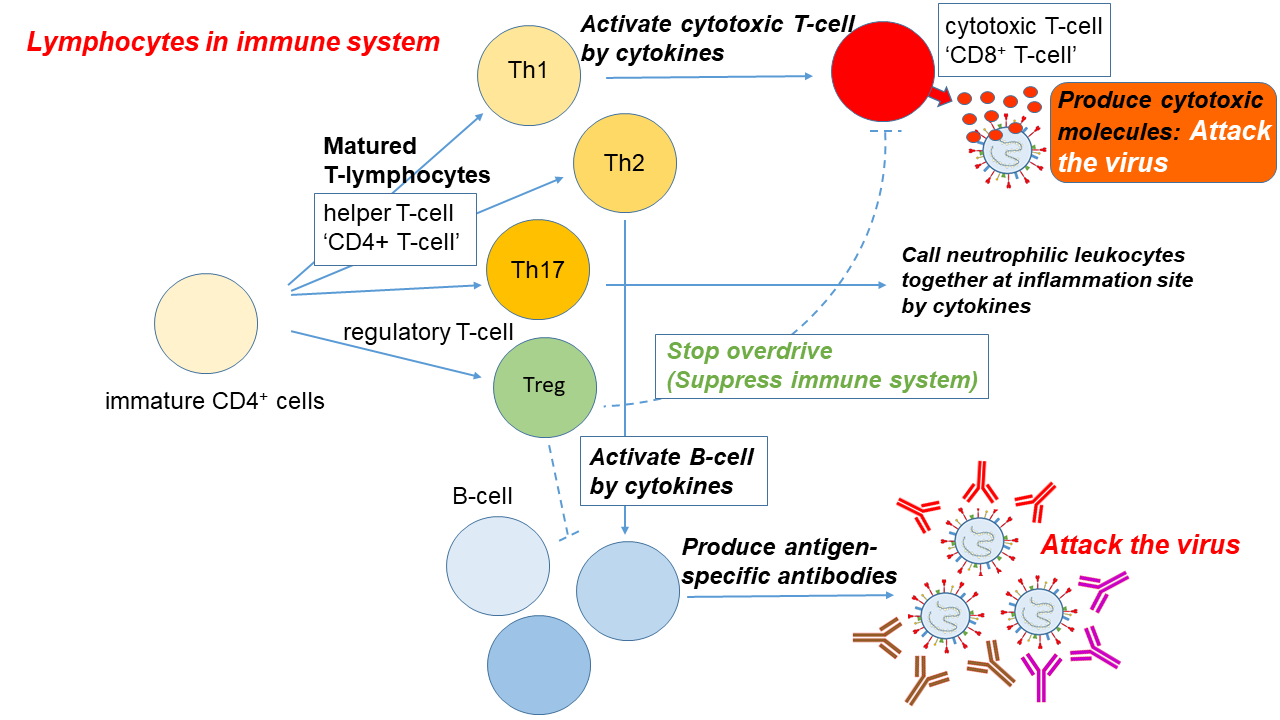 Figure 1. Immune response to a viral infection