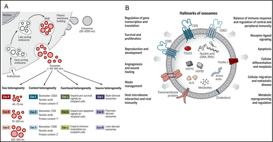 Figure 1. Extracellular vesicle (EV) in cell-cell communication.(A) Exosomes are heterogeneous in size, content, and biogenesis. (B) Exosomes and EVs are involved in cell-cell communication by stimulating receptor-mediated signaling and endocytosis into recipient cells. Adapted from (1).