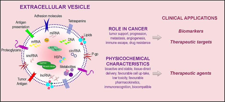 Figure 2. EV for clinical applications. EV cargo includes bioactive molecules on EV surface and molecular contents (DNA, mRNA, microRNA, long noncoding RNA, short noncoding RNA, circular RNA, metabolites, heat shock proteins, enzymes). EVs and their components play multiple roles in diseases and have unique physicochemical characteristics, thus holding a potential clinical utility as biomarkers as well as therapeutic targets and agents. Adapted from(7).