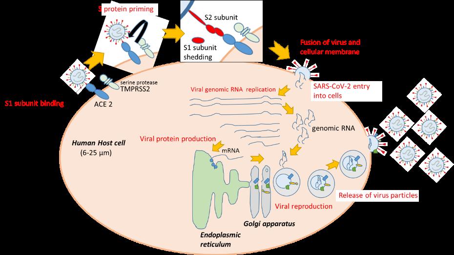 دورة حياة كوفيد-19